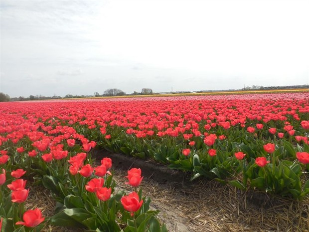 Cycling the Tulip fields