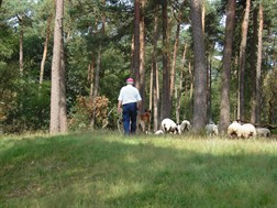 Veluwe_sheep_shepherd